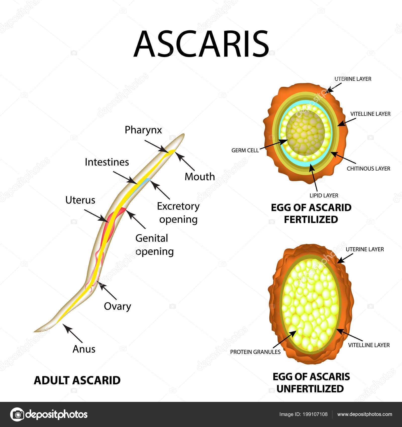 Ascaris lárvák a tüdőben a legjobb gyógymód a férgek minden típusára