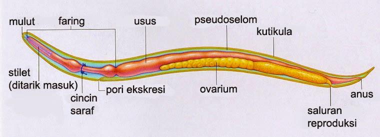 Hogyan néz ki az enterobiosis a gyermekeknél?