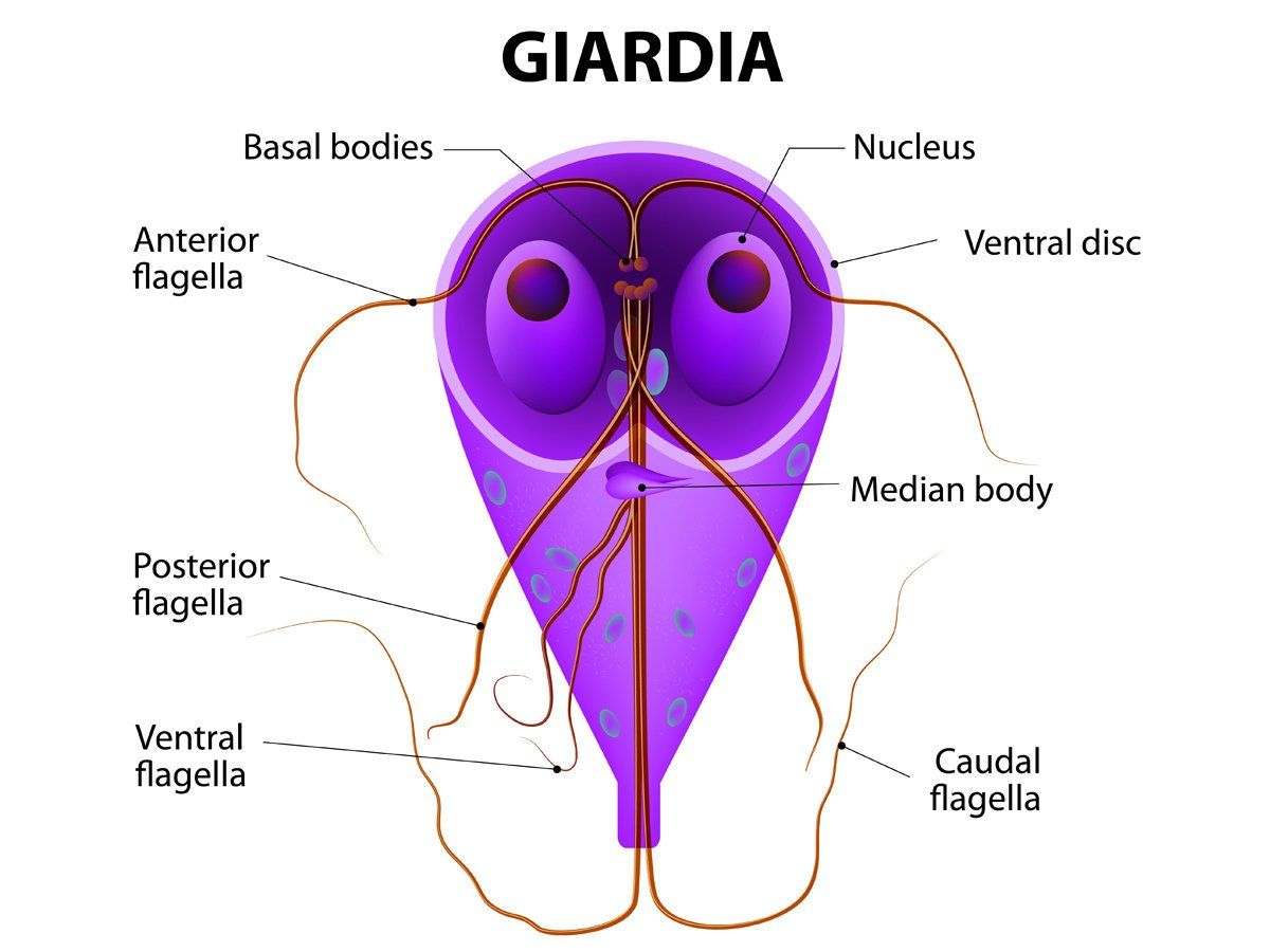 giardia parasite symptoms in humans)