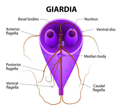 giardiasis fasting)