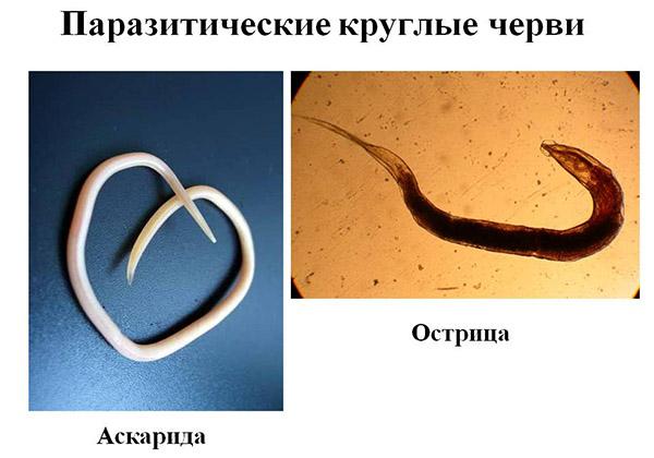 helmintikus fertőzés a székletben)