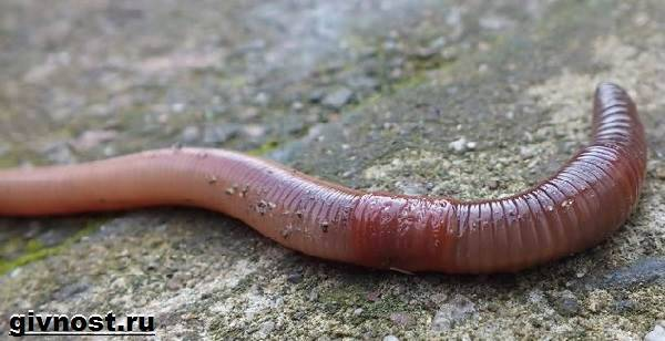 pinworm élőhely