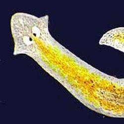 platyhelminthes planaria cefalizáció)