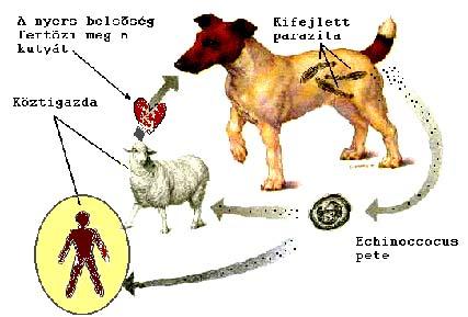 Kutyák veszélyes parazitái