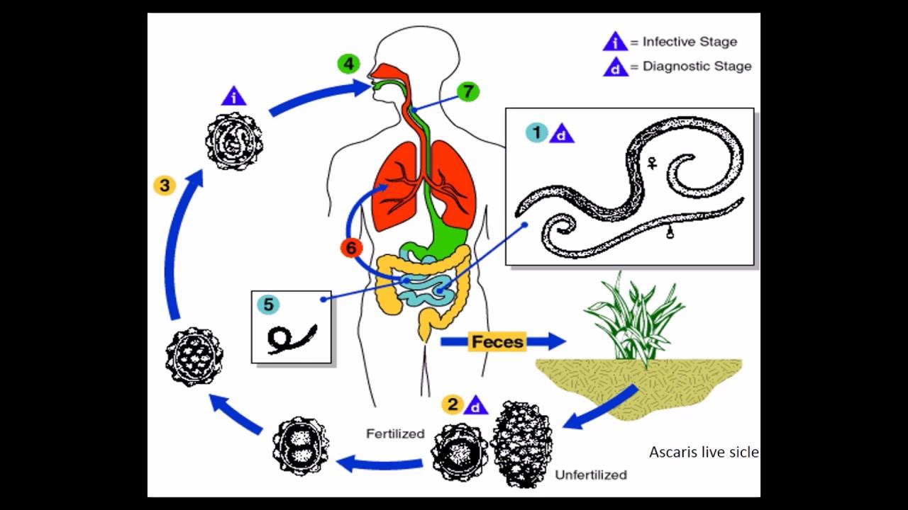 paraziták emberben paraziták kimutatasa a szervezetben