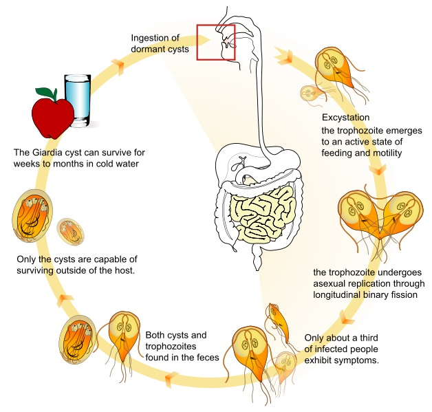 giardia nell uomo széklet opisthorchiasis, hogyan kell venni a hCG