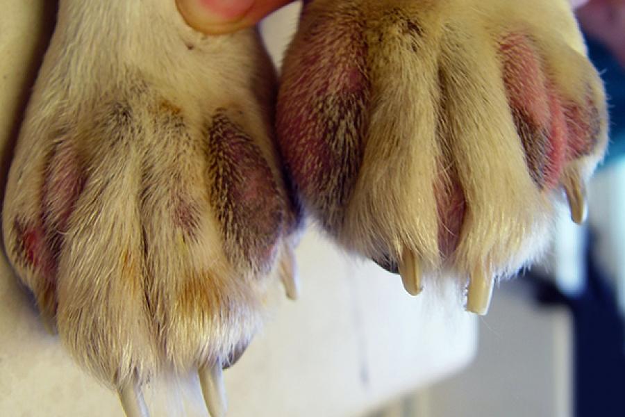 A lábak dermatitiszének jellemzői - Allergének