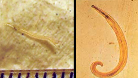 méh enterobiosis