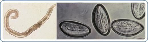 krónikus pinworms)