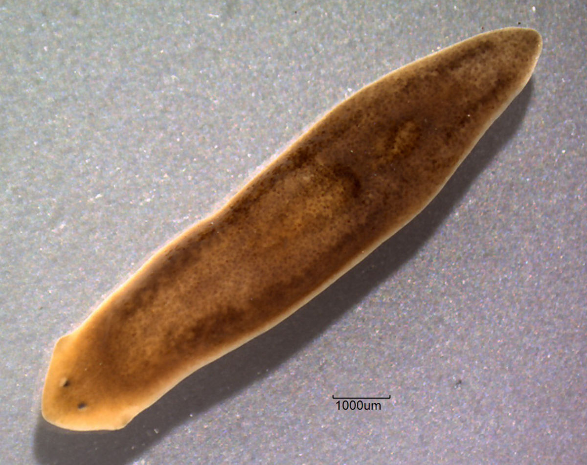platyhelminthes turbellaria dugesia)
