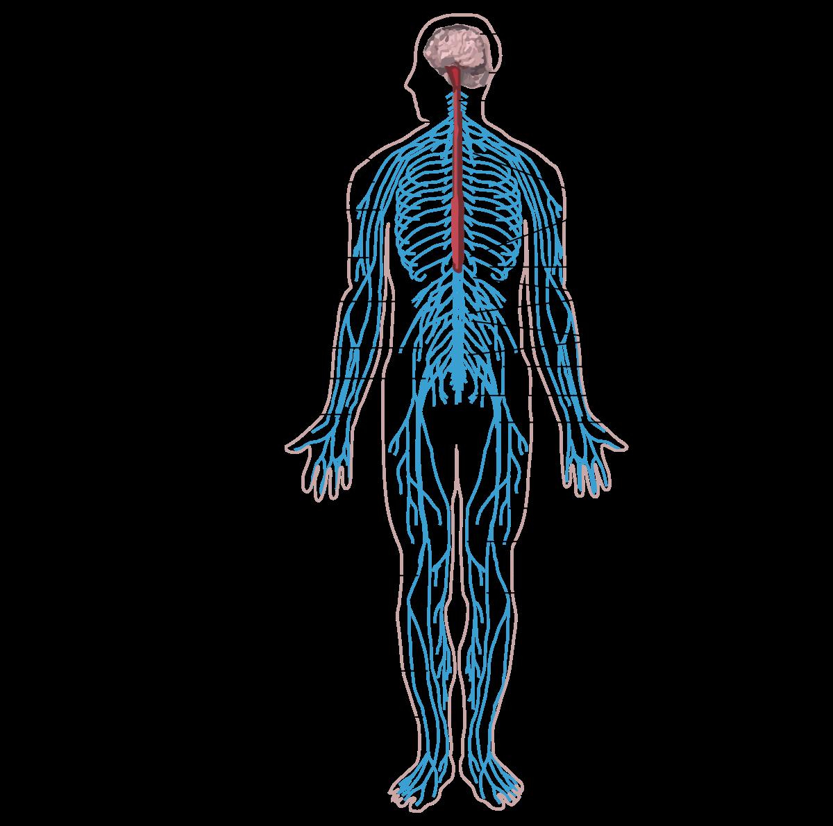 házi készítmények az emberi test parazitjaihoz