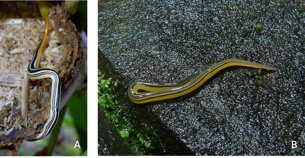 platyhelminthes coelomates)