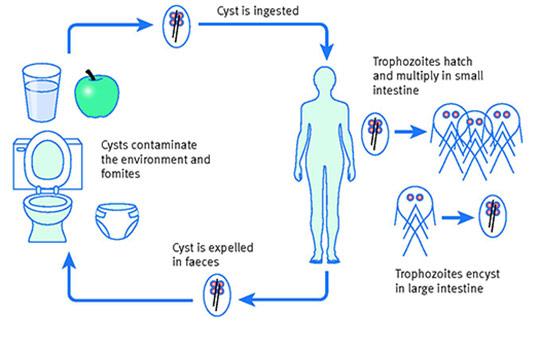 giardia parasite uk trilobok a paraziták kezeléséről