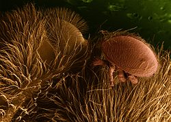 Parazita növény – Wikipédia