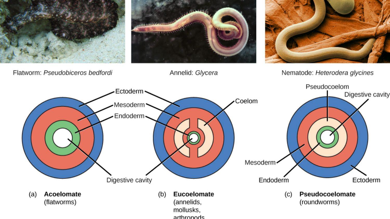 phylum platyhelminthes nematoda és annelida)