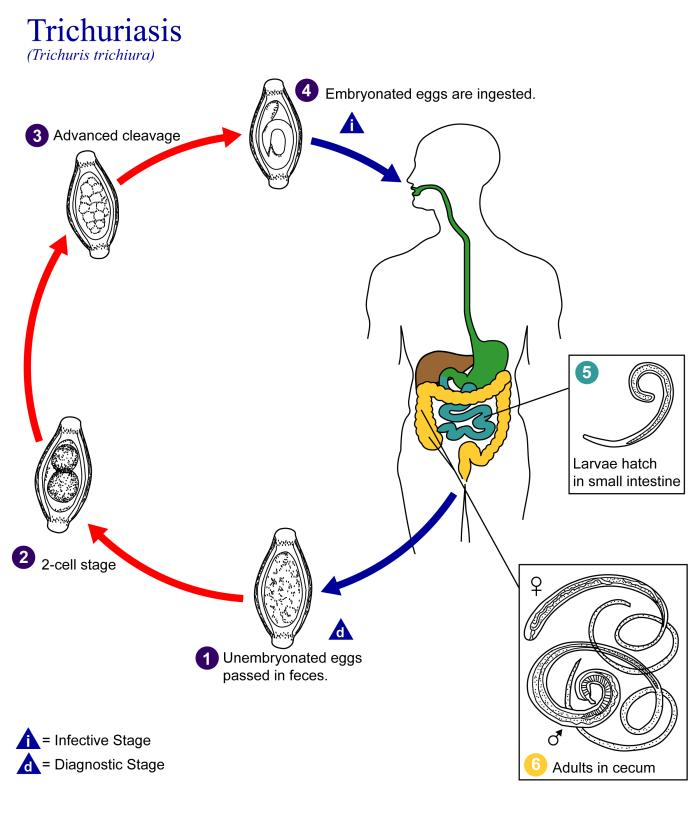 a diftillobothriasis patogenezise)