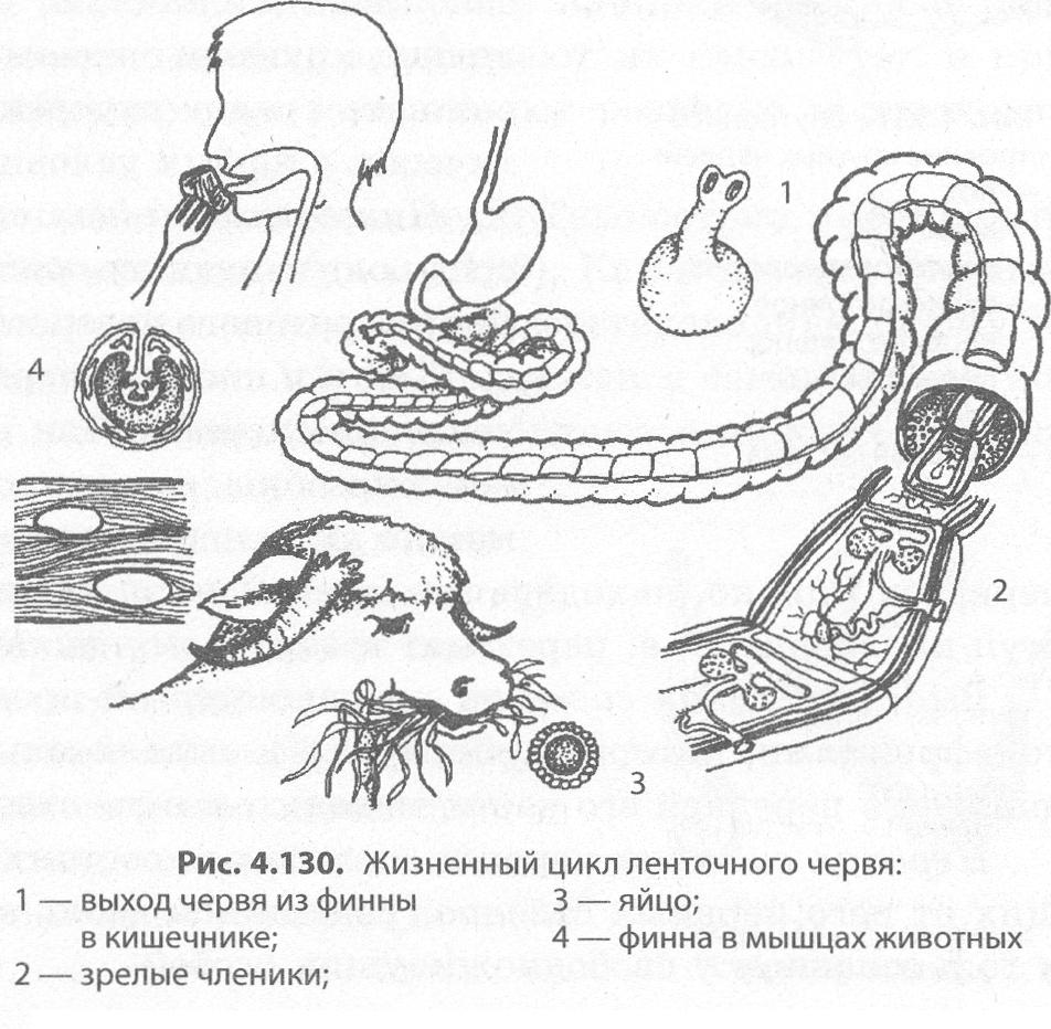 A hermaphroditák bika szalagféreg)