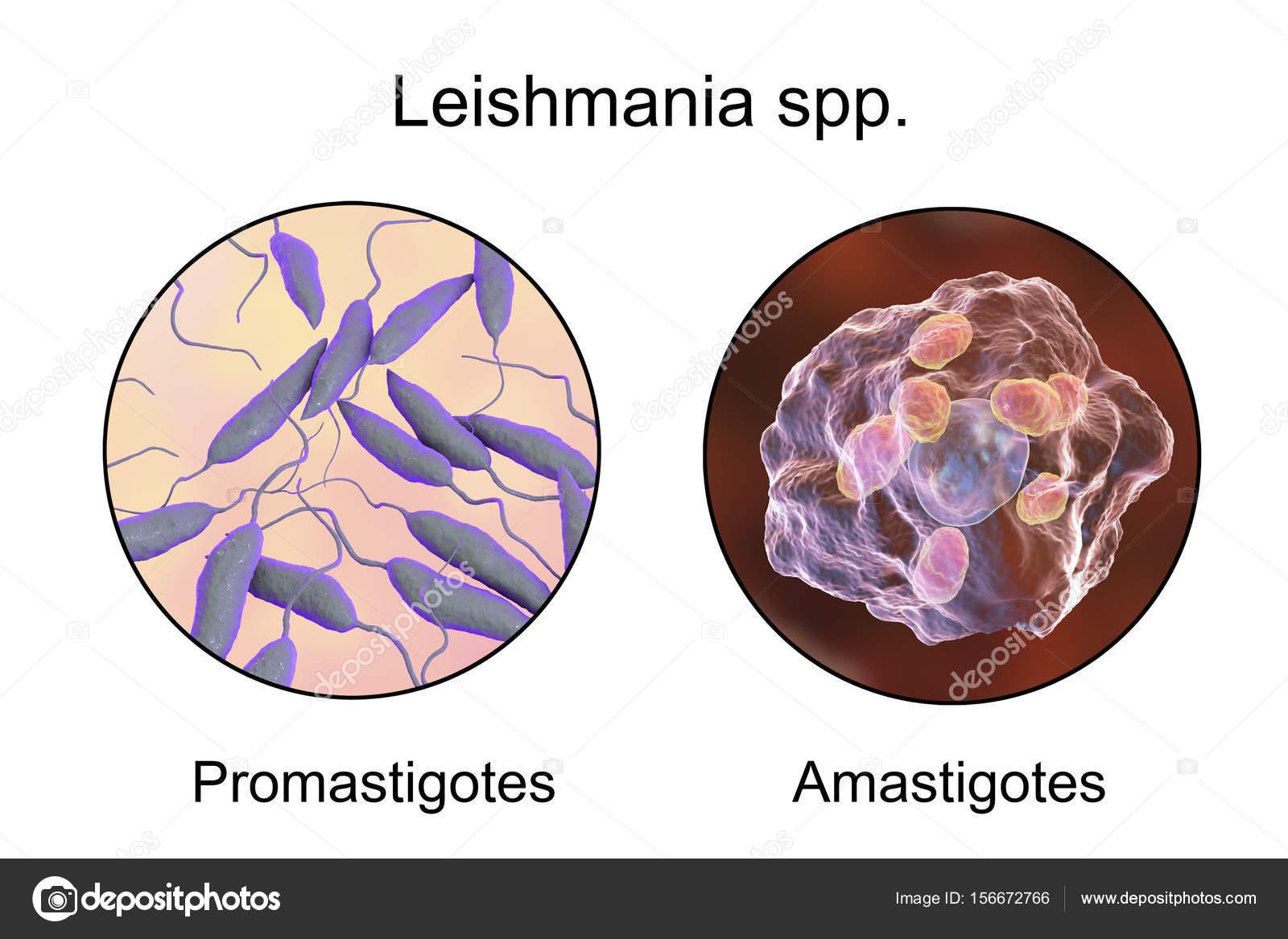 protozoan paraziták leishmaniasis)