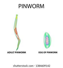 pinworm méretek)