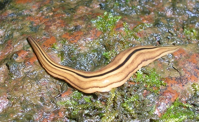 acoelomates platyhelminthes)