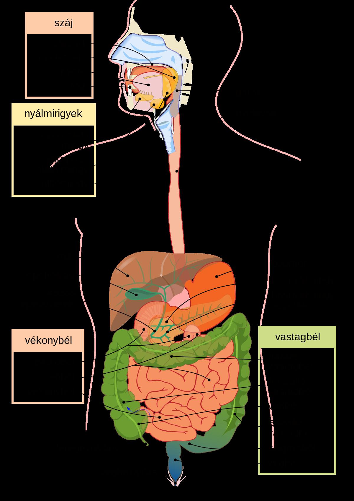 van- e a platyhelminták emésztőrendszere?