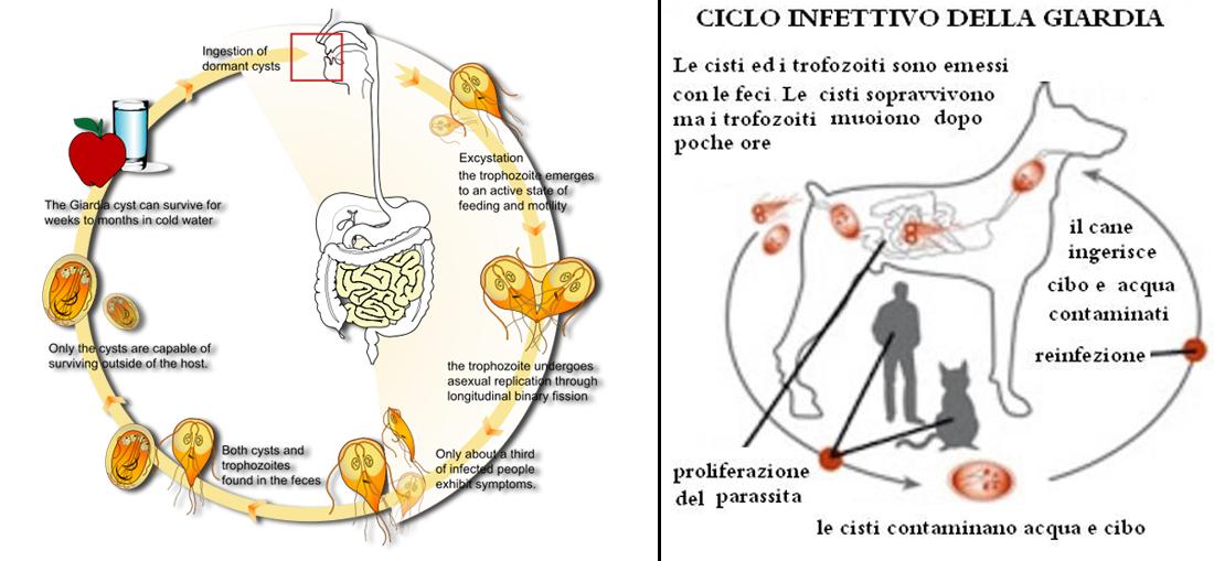 Giardia duodenalis - Italian-Hungarian Dictionary - Glosbe