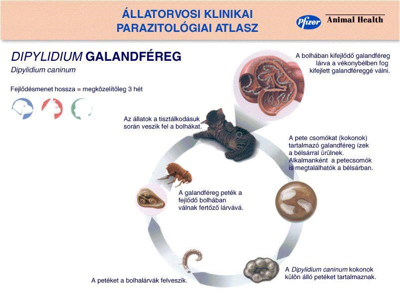 plakk a szájban és rossz lehelet milyen baktériumokat hívnak parazitáknak