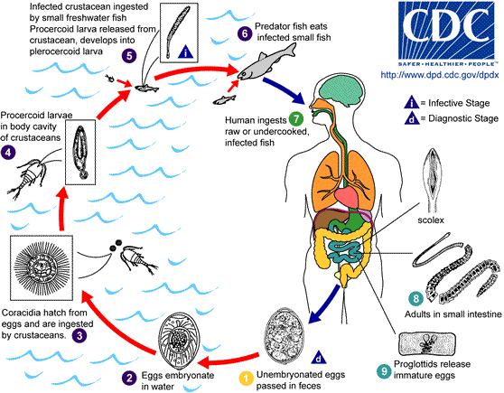 diphyllobothriasis etiológia patogenezise)