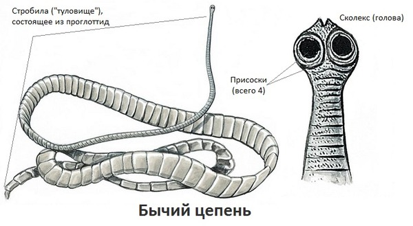 bika szalagféreg hívják