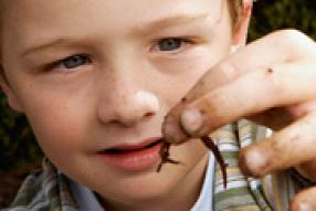 bika szalagféreg leírása