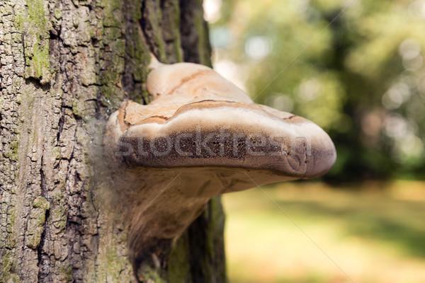 szalagféreg fák)