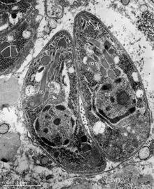 pinworm gyertyák férgek szemkezelése