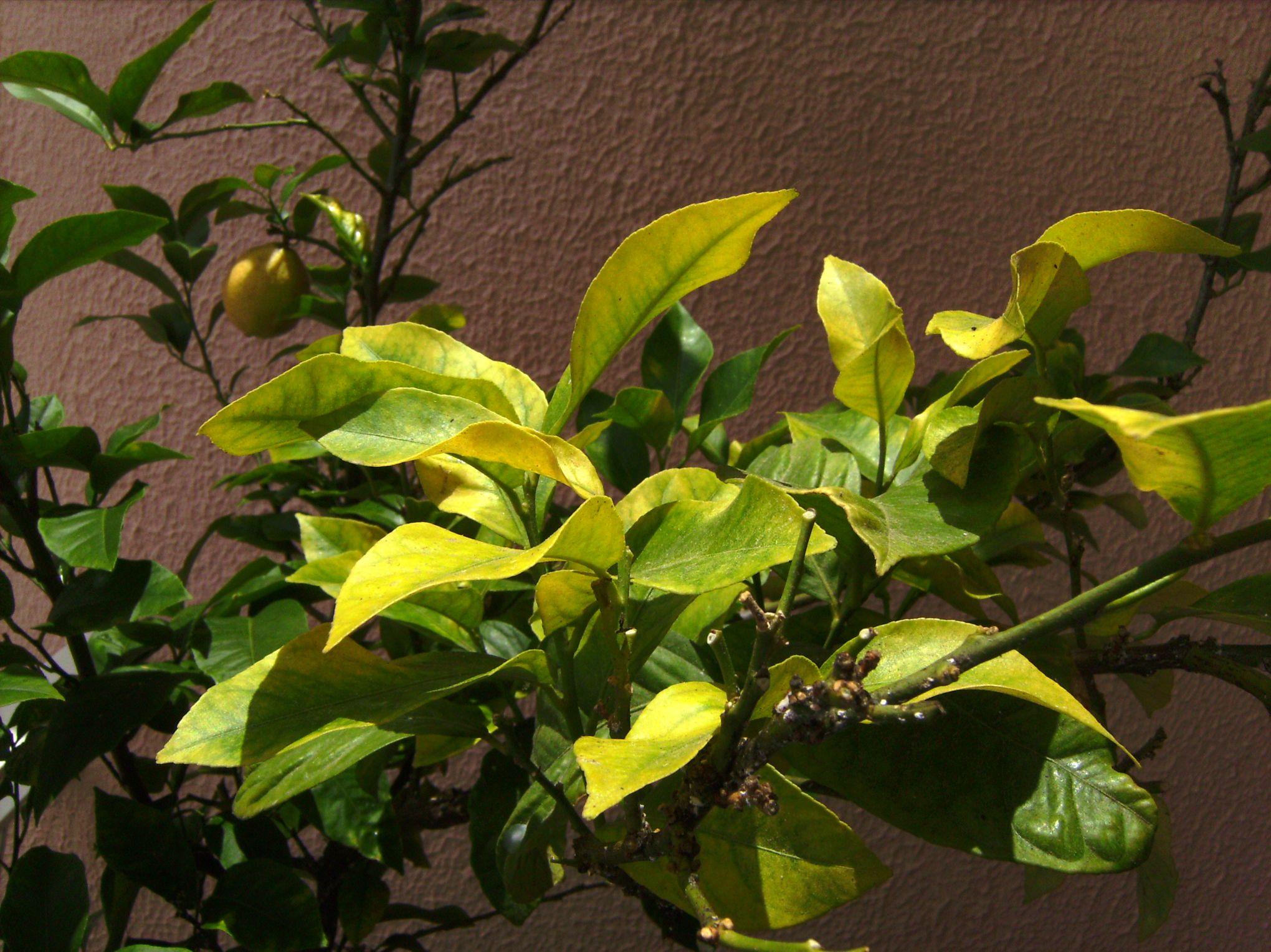 citronnier maladies paraziták)