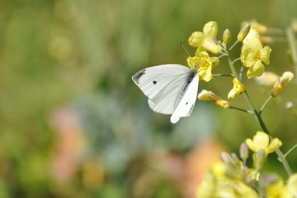 pillangó féreg)