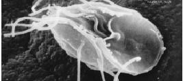 giardia mens antibiotikum bélféreg