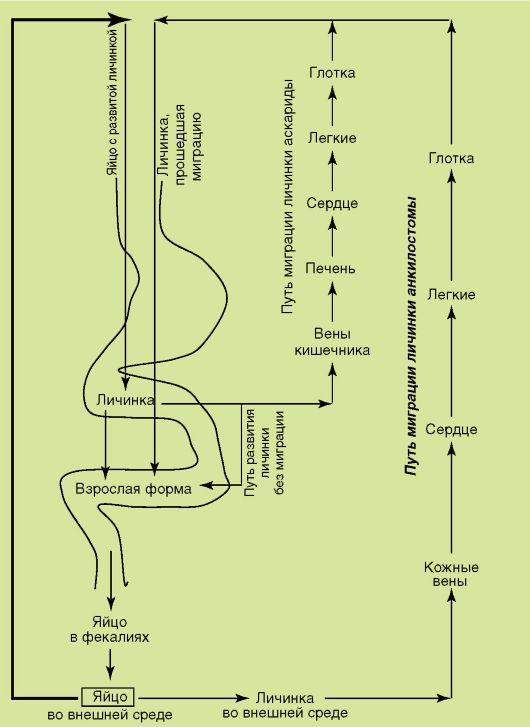 Ostorféreg : szerkezet és életciklus Kompetensek az egészséggel kapcsolatban az iLive-n