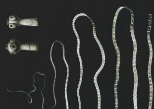 enterobiosis férgek