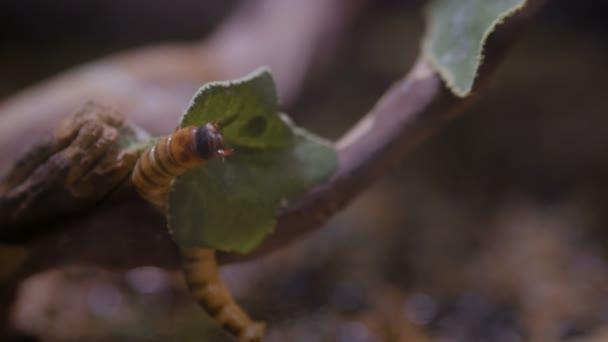 entomofág paraziták)