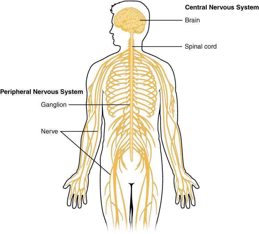 platyhelminthes központi idegrendszer