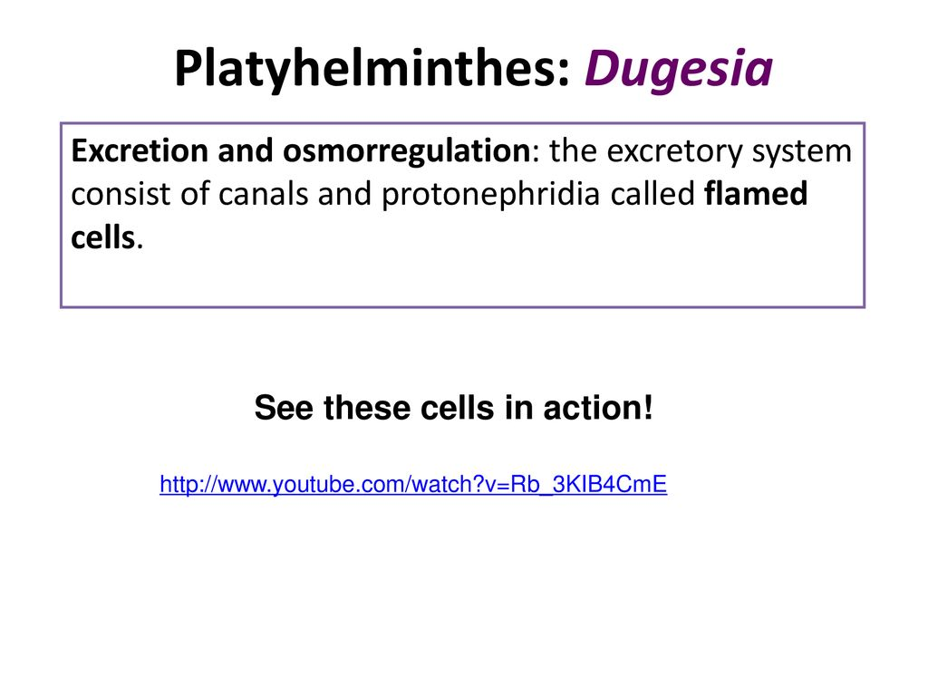 filo platyhelminthes ppt)