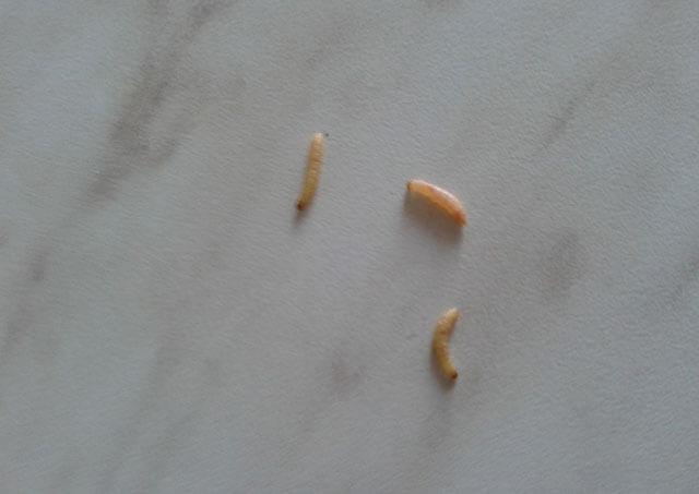 kerek féreg a talajban antihelmintikus gyógyszer egy tabletta