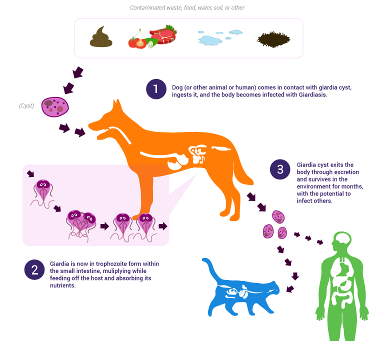giardia bij honden symptomen)