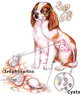 giardia caini simptome)