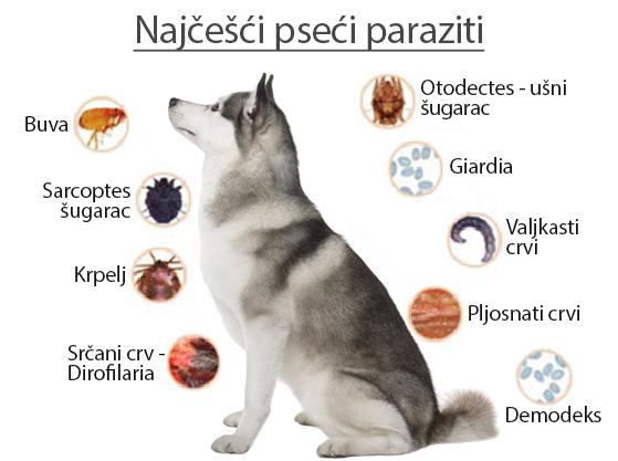 giardia kod pasa terapija)