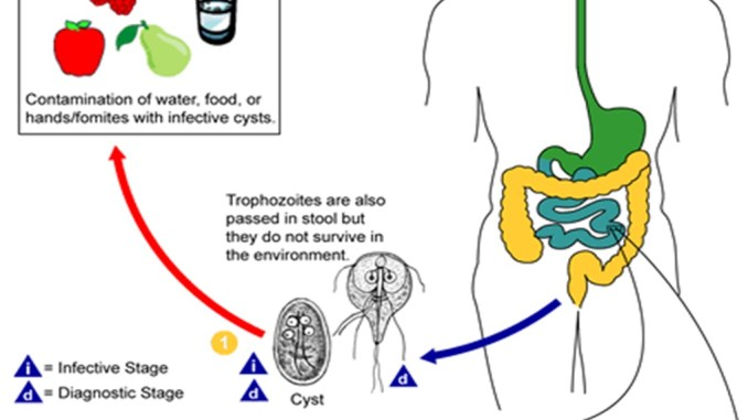 giardia life cycle cdc