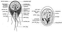 Giardiasis magyarul