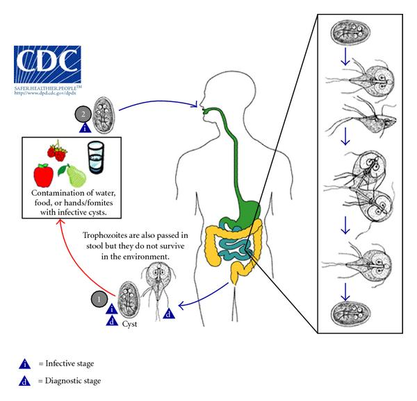 giardia protozoa life cycle