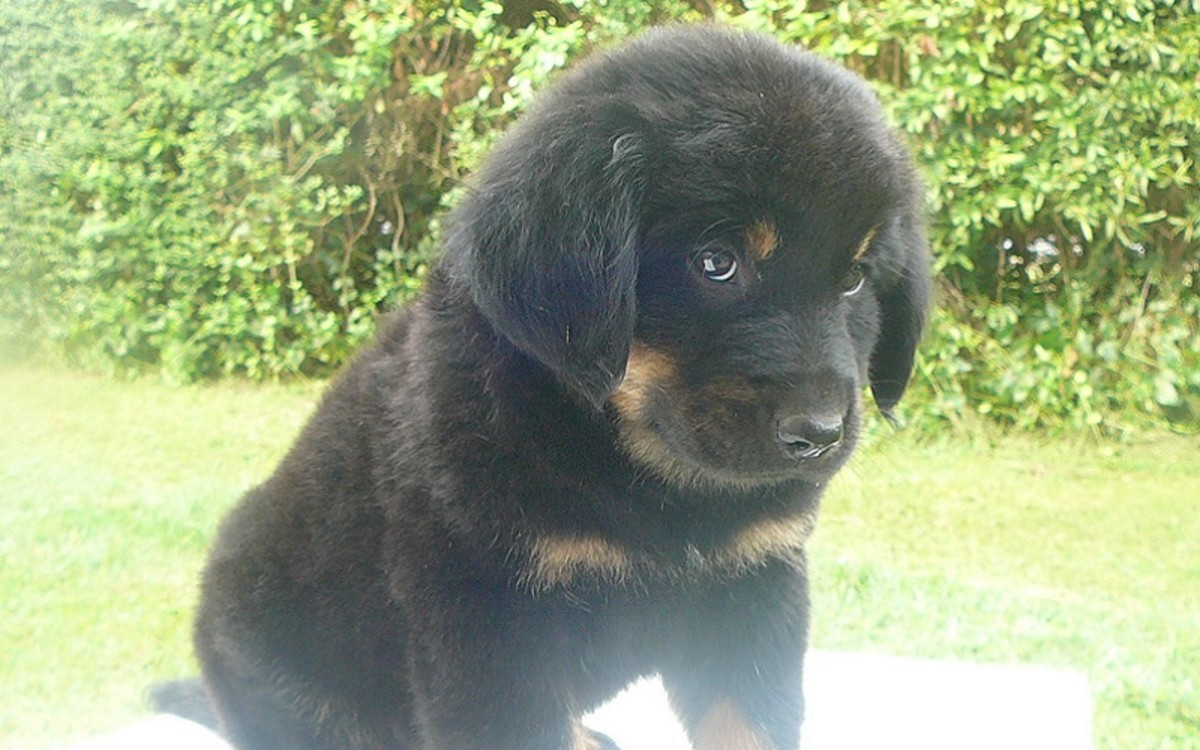 Drontal® Puppy szuszpenzió A.U.V.