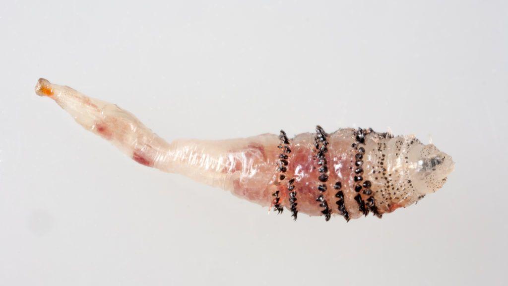 gyógyszerek a parazita rovarokra