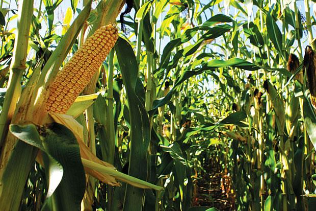 Az árpatermesztés kórtani hátteréről – Agrárágazat